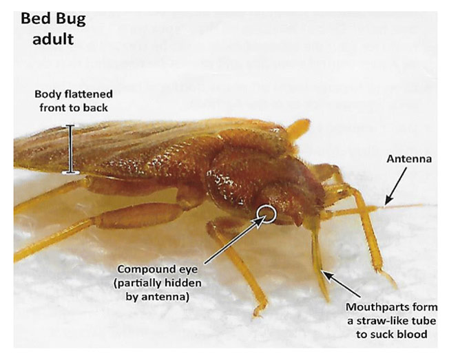 bed bug info
